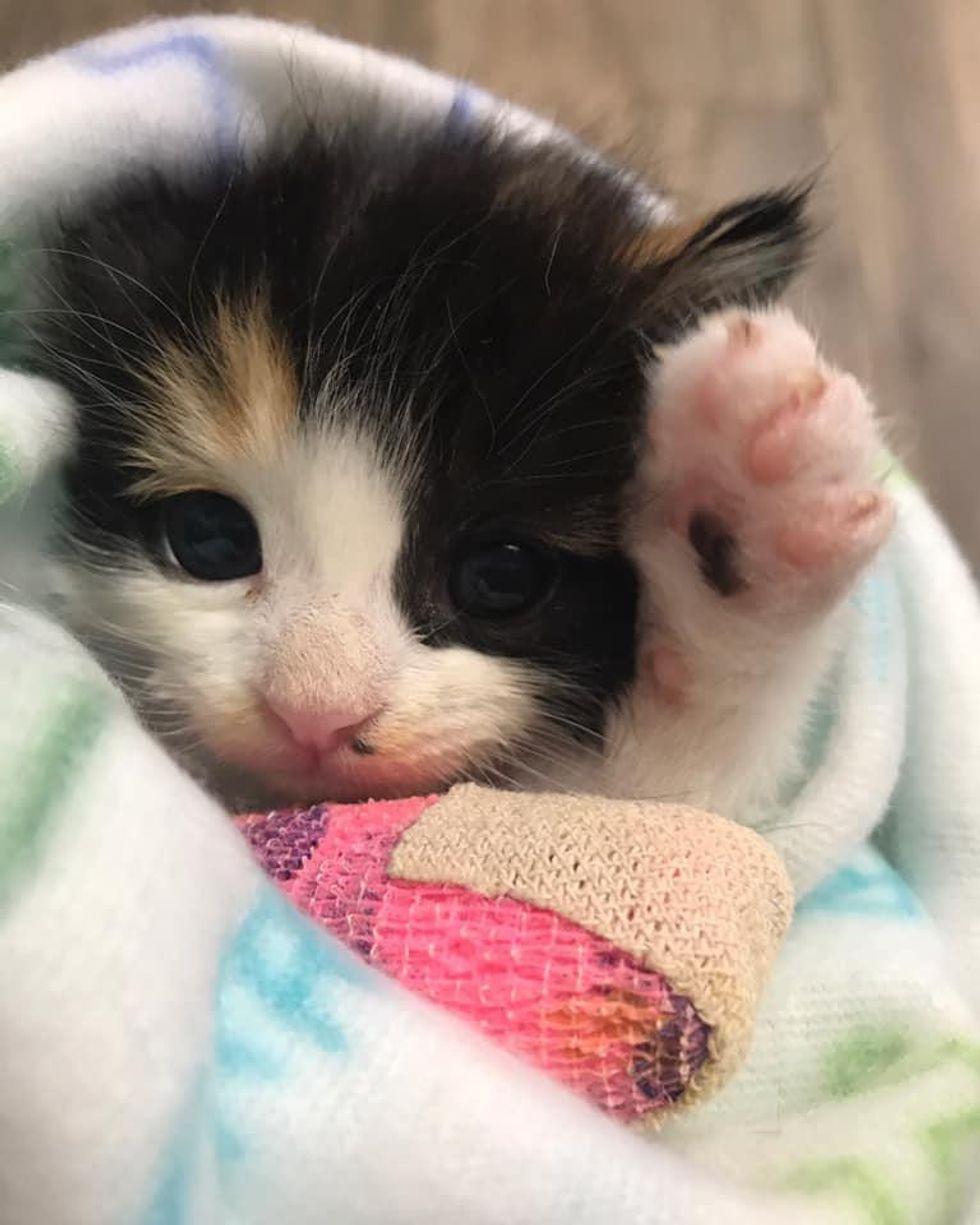 calico kitten paw