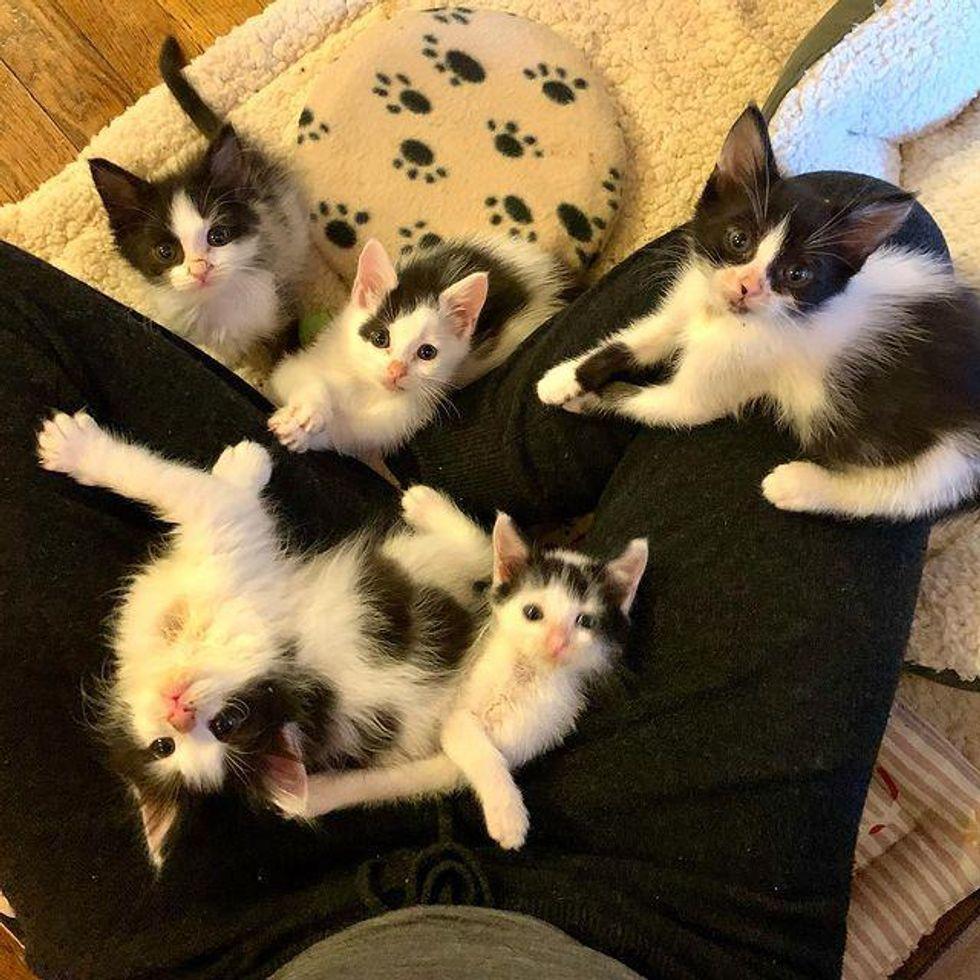 lap kittens, black and white kittens