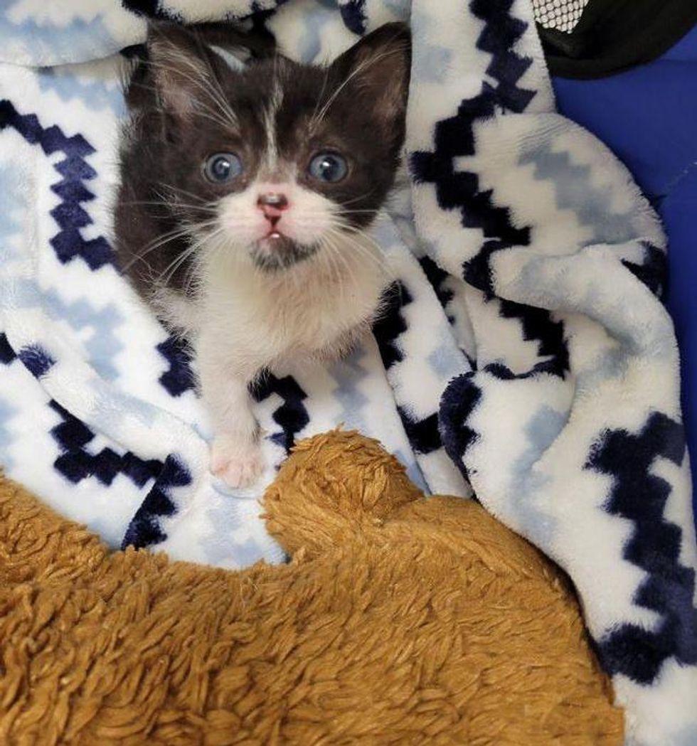 tuxedo kitten sweet