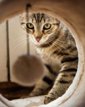tabby cat looking at toy