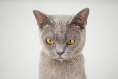 Gray cat looking angry