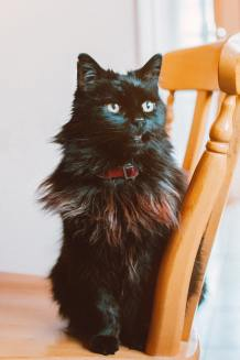 Maine Coon longhaired black cat sitting on a chair