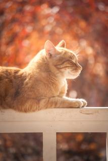 ginger tabby sunning on a fence