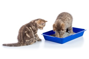 cat watching other cat in litter box