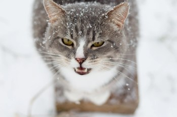 tabby cat on table in snow