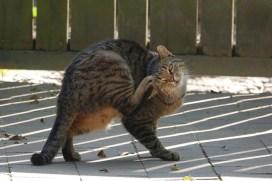 tabby cat scratching