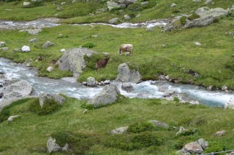 Cows with bells, rushing mountain stream, green fields: must be Switzerland