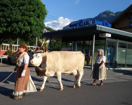 Nothing special - just walking the cows into town.