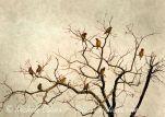 Cedar Waxwings in Naked Tree