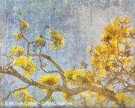Yellow Cassia Tree