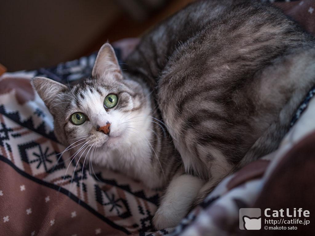 CatLife猫写真壁紙 2014年12月