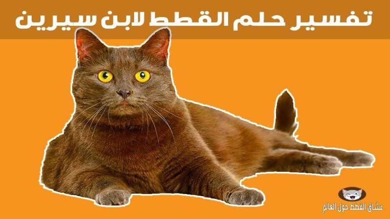 تفسير حلم القطط لابن سيرين ورؤية كل أنواع القطط عشاق القطط