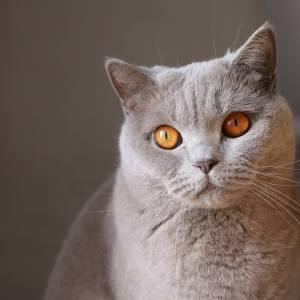 British Shorthair : Cat Breeds