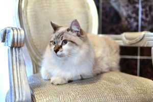 Ragdoll : Cat Breeds