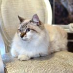 Ragdoll Cat : Cat Breeds | Breed Info | Cat Mania | For Cat Lovers