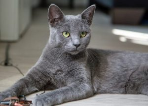 Russian Blue : Cat Breeds