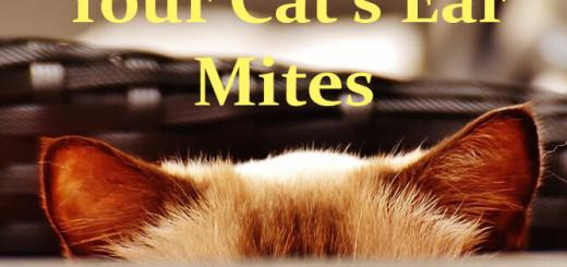 Ear Mites in Cats and Treatment | Cat Mania