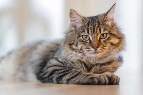 Maine Coon : Cat Breeds