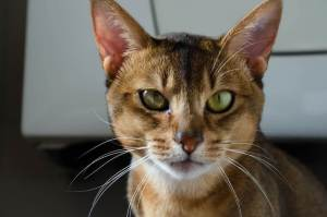 Abyssinian : Cat Breeds