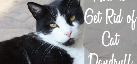 How to Get Rid of Cat Dandruff   Cat Mania   For Cat Lovers