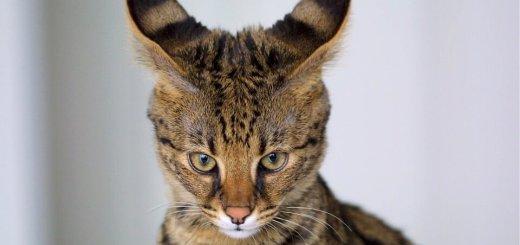 Savannah Cat : Cat Breeds | Cat Mania | For Cat Lovers