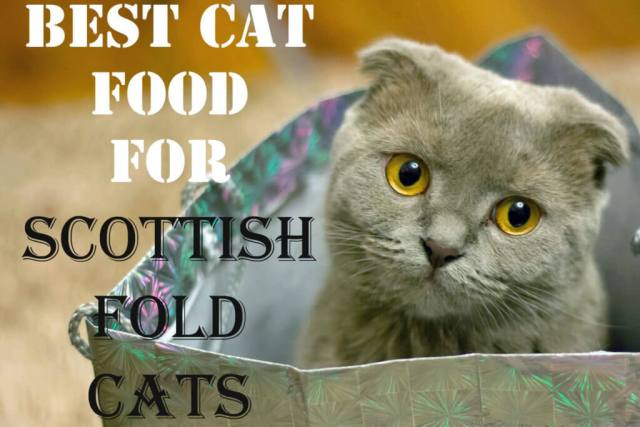 Best Cat Food for Scottish Fold Cats