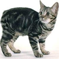 Manx : Cat Breeds