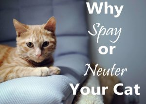 Why Spay or Neuter Your Cat