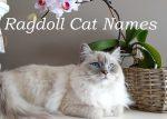 Ragdoll Cat Names : 100 + Perfect Names