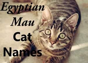 Egyptian Mau Cat Names – 100 + Wild Names