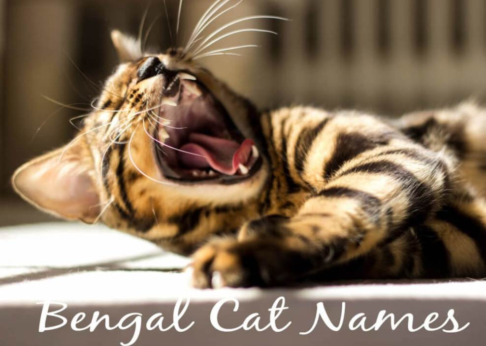 Bengal Cat Names - 100 + Exotic Names | Cat Mania