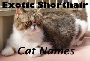 Exotic Shorthair Cat Names – 100+ Cute Names
