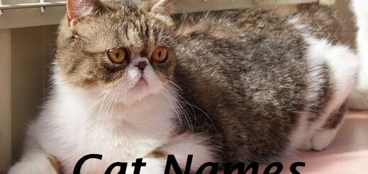 Exotic Shorthair Cat Names
