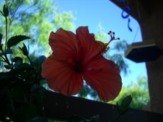 My second hibiscus