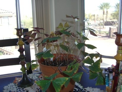 Last year's Shamrock plant is still growing strong - and makes a wonderful centerpiece to my dining room table.