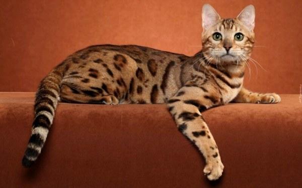 Бенгальская кошка - характер, описание породы, фото и цены