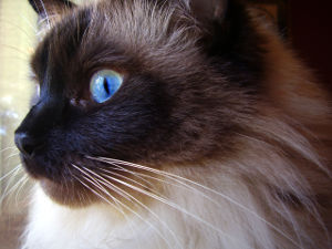 Names for Ragdoll Cats