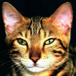 boy bengal cat names