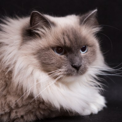 Beautiful Neva Masquerade cat portrait. Adult purebred siberian cat.