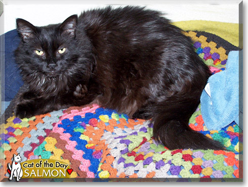 Salmon, the Cat of the Day