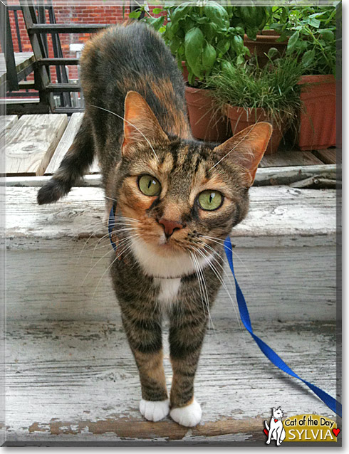 Sylvia, the Cat of the Day