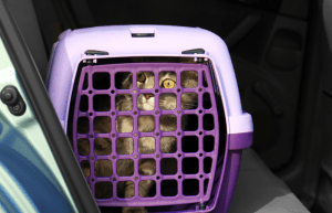 cat car sickness