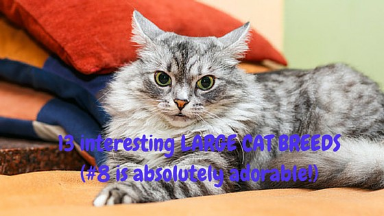 13 interesting LARGE CAT BREEDS (#8 is absolutely adorable!)