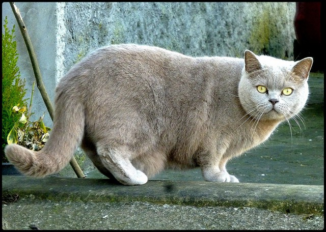 13 interesting LARGE CAT BREEDS (#8 is absolutely adorable!) - Cat ...