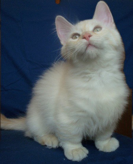 munchkin-small-cat
