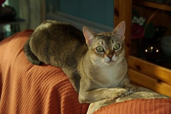 singapura-small-cat