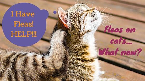 scratching-fleas-on-cat