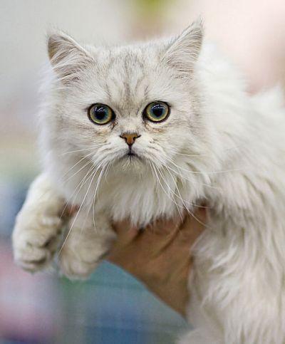 Asian Semi-Long Hair Cat