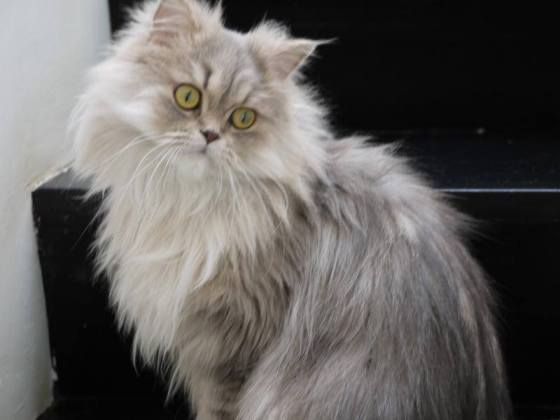 Long Haired Silver Siberian Cat Very Big
