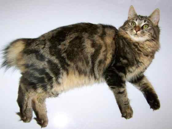 Astra on Freezer (American Bobtail)